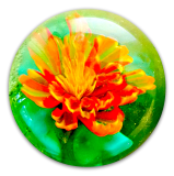 MARIGOLD Flower 3D on Transparent Green Glass PW Button